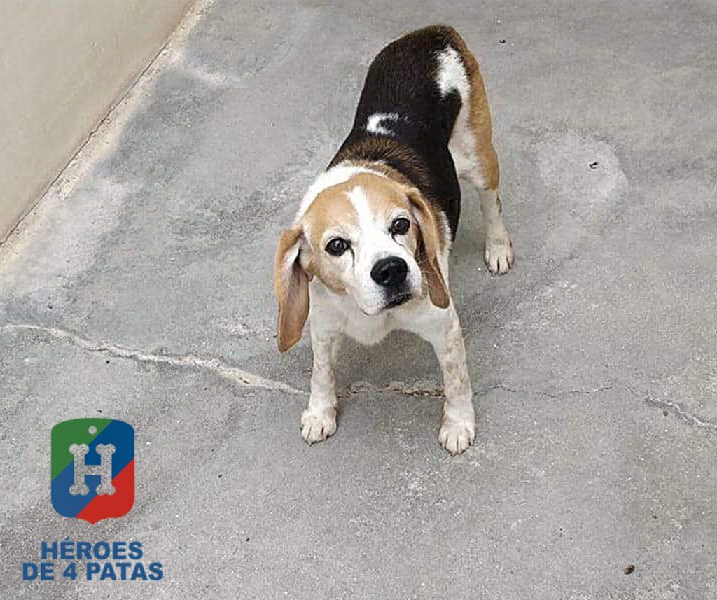 Tanque, Beagle de 12 años