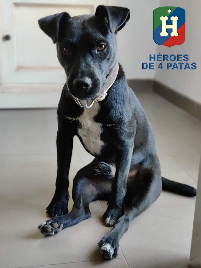 Black, Paterdale Terrier